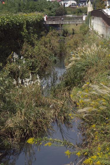 写真: 名瀬川のススキ 02