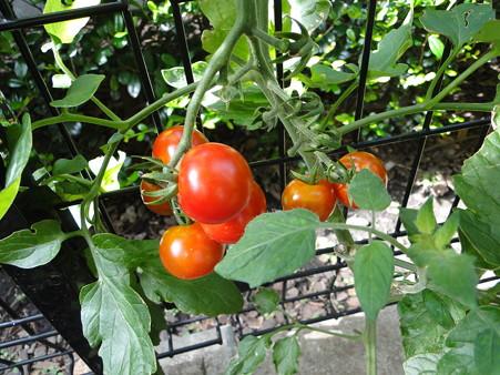 トマトが熟れた