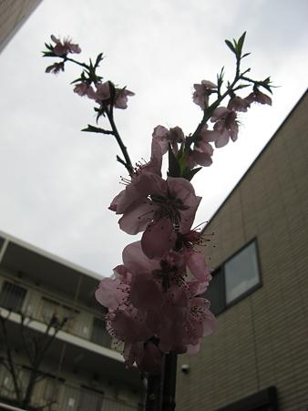 桃の花が沢山咲いた