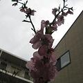 写真: 桃の花が沢山咲いた