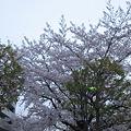 写真: 大きな桜の木です