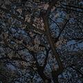 写真: 夜桜なう
