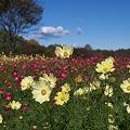 写真: 昭和記念公園・コスモス01