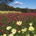 写真: 昭和記念公園・コスモス02