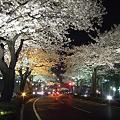 ライトアップされた桜