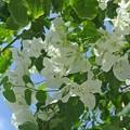 Photos: 白花のブーゲンビレア