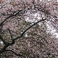 23.4.9四季桜