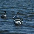 Photos: 白鳥の家族