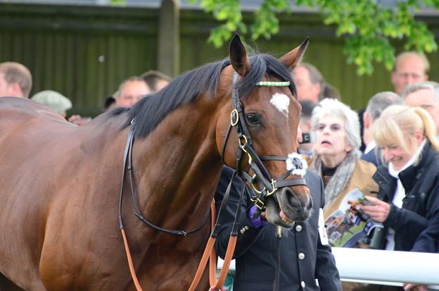 03.Frankel at pre-parade ring -Lockinge Stakes-