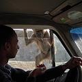 写真: サルと運転手さん